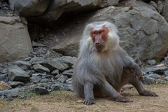 Sitting adult male baboon hamadryad Royalty Free Stock Photography