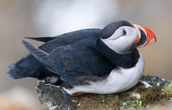 Adult Atlantic Puffin sitting on a rock ledge, Ytre Norskoya, Svalbard stock image