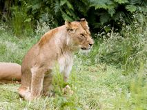 Sitting African lioness stock image