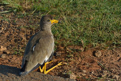 Sitting. African Whattled Lapwing resting next to road Royalty Free Stock Photography