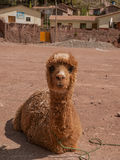 Sitting Alpaca Stock Image