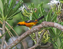 Sitting Altamira Oriole Stock Image