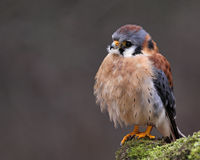 Sitting American Kestrel Stock Photo