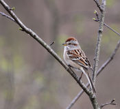 Sitting American Tree Sparrow Stock Photography