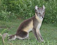 Sitting Arctic Fox Stock Images
