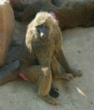 Sitting baboon. Thinking baboon in the shadow of a rock royalty free stock photos