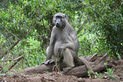 Sitting Baboon. Baboon sitting on a tree stump at Kruger Park in South Africa Royalty Free Stock Photos