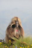 Sitting baboon. Closeup view of a male baboon in Simien mountains park, Ethiopia royalty free stock photos