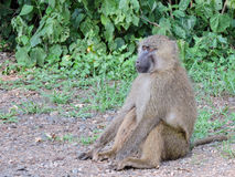 Sitting Baboon Stock Images