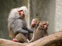 Sitting baboons. Baboons sitting in the zoo Stock Photography