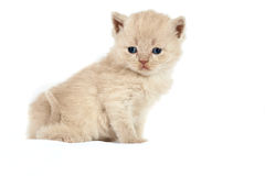 Sitting baby cat Stock Images