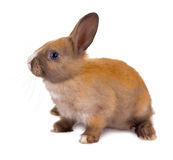 Sitting baby rabbit Stock Photography
