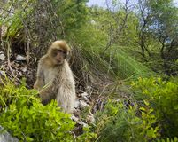 Sitting Barbary macaques in Gibraltar Stock Images