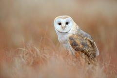 Sitting Barn Owl in light grass Stock Images