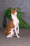 Sitting basenji Royalty Free Stock Photos