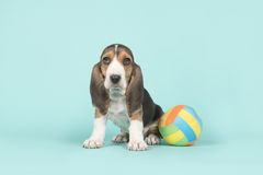 Sitting basset artesien normand puppy with a multi colored toy ball on a blue background Royalty Free Stock Photos