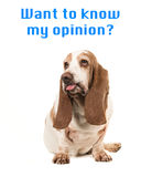 Sitting basset hound making  a funny face sticking its tongue out  with the text ` want to know my o Royalty Free Stock Photos