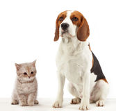 Sitting beagle dog Royalty Free Stock Photo