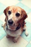 Sitting beagle stock image