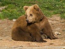 Sitting Bear Royalty Free Stock Photo