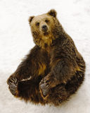 Sitting Bear. Black brown bear sitting on snow Stock Images