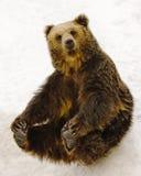 Sitting Bear. Black brown bear sitting on snow stock images