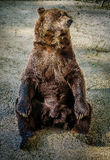 Sitting bear. A beautiful bear in a zoo enclosure Stock Photography