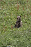 Sitting Bear Cub Royalty Free Stock Photo