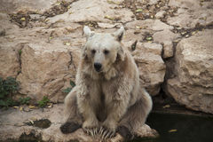 Sitting Bear. At the jerusalem zoo royalty free stock photography