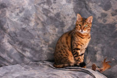 Sitting bengal cat. An adult male bengal cat is sitting with cat toy against grey background Stock Images