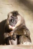 Sitting Big Male Sacred Baboon Papio hamadryas Stock Image
