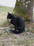 Sitting black cat next to a tree in cold day. Black cat with a white spot on the throat sitting next to a tree in cold day. Snow or hoarfrost visible on a grass stock photo