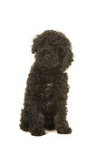Sitting black labradoodle puppy facing the camera seen from the front Stock Image