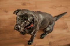 Sitting Black Labrador Looking At Camera stock photo