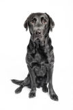 Sitting black labrador in studio. With white background Royalty Free Stock Images