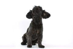Sitting black mixed-breed dog. Little black mixed-breed dog, bitch, sitting, studio shot, isolated on white backdrop, horizontal Stock Image