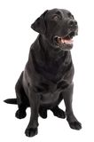 Sitting Black Retriever Labrador Royalty Free Stock Photos
