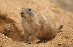 Sitting black-tailed prairie dog. The black-tailed prairie dog is a rodent Royalty Free Stock Images