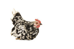 Sitting black and white rooster chicken Stock Image