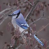 Sitting Blue Jay Royalty Free Stock Images