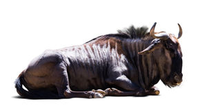 Sitting blue wildebeest Royalty Free Stock Photo