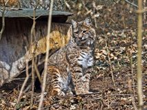 Sitting Bobcat, Lynx rufus, looks around. One Sitting Bobcat, Lynx rufus, looks around Royalty Free Stock Photos