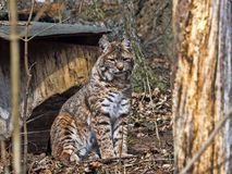 Sitting Bobcat, Lynx rufus, looks around. One Sitting Bobcat, Lynx rufus, looks around Stock Image