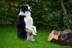Border Collie dog rearing up Royalty Free Stock Photography