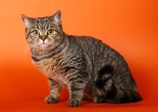Sitting British cat on a bright orange background. Stock Photo
