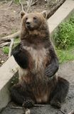 Sitting brown bear Stock Images