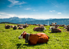 Sitting brown cows in the mountains Stock Photo