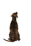 Sitting brown dog seen on its back Stock Images