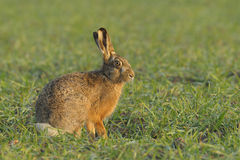Sitting brown hare. In the field Royalty Free Stock Image