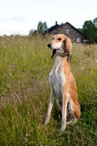 Sitting brown saluki Stock Photography
